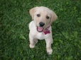Labrador Retriever, nine weeks, yellow