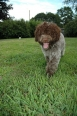 Lagotto Romagnolo, 1 year, Brown