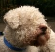 Lagotto Romagnolo, 1.5 years, White