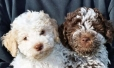 Lagotto Romagnolo, 2 months, Brown and White