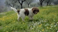 Lagotto Romagnolo, 2 years, Brown and White
