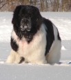 Landseer Newfoundland, 2 years, Black and White