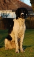 Large Munsterlander, 1 year, Black and white plated