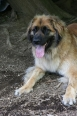 Leonberger, 1 year, Brown