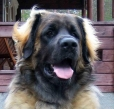 Leonberger, 1.5 years, Brown