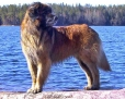 Leonberger, 2 years, Brown
