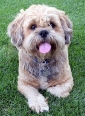 Lhasa Apso, 1 year, Brown