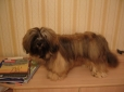 Lhasa Apso, 2 years, Brown