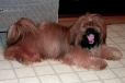 Lhasa Apso, 2 years, Red