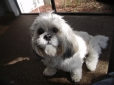 Lhasa Apso, 3 years, White