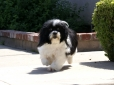 Lhasa Apso, 7, black & white parti-colored