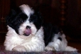 Lhasa Apso, 7puppy, black & white parti-colored