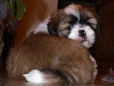 Lhasa Apso, puppy, red and white with black tips