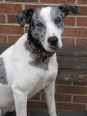 Louisiana Catahoula Leopard Dog, 2, White with Blue Merle