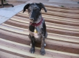 Louisiana Catahoula Leopard Dog, 5 months, Blue Leopard