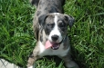 Louisiana Catahoula Leopard Dog, 6 months, Gray Merle