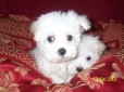 Maltese, 7 weeks, White