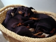 Manchester Terrier, 1 year, Black