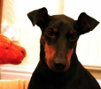Manchester Terrier, 2 years, Black