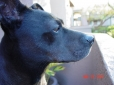 Manchester Terrier, 6, Dark Brown
