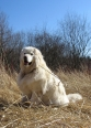 Maremma Sheepdog, 1 year, White