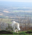 Maremma Sheepdog, 2  years, White