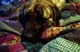 Mastiff, 1, brindle