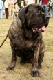 Mastiff, 1.5 yearss, Brindle
