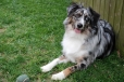 Miniature Australian Shepherd, 2 year, Blue Merle