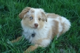 Miniature Australian Shepherd, 4 months, Brown
