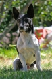 Miniature Fox Terrier, 1 year, Black and White