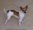 Miniature Fox Terrier, 1 year, Tan and White