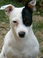 Miniature Fox Terrier, 3 years, black and white
