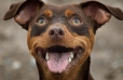 Miniature Pinscher, 1 year, Brown