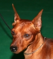 Miniature Pinscher, 2 years, Red
