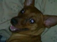 Miniature Pinscher, 2yrs old, brown
