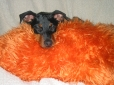 Miniature Pinscher, 3 now, 5 months on photo, black and tan