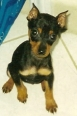 Miniature Pinscher, 3, Black