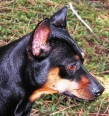 Miniature Pinscher, 4, Black & Tan