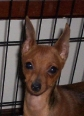 Miniature Pinscher, 6 months, Stag Red