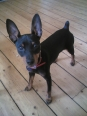 Miniature Pinscher, 9 months, Black