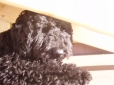Miniature Poodle, 2, Black