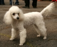 Miniature Poodle, 9 months, White