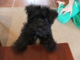 Miniature Schnauzer, Puppy, Black&Silver