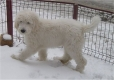 Mioritic Sheepdog, 4 months, White