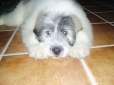 Mioritic Sheepdog, 4 months, white with grey spots