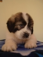 Mioritic Sheepdog, 6,5 weeks, white with grey spots