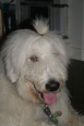 Mioritic Sheepdog, 8 months, White