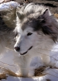 Native American Indian Dog, Unknown, Silver
