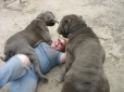 Neapolitan Mastiff, 1 year, Blue